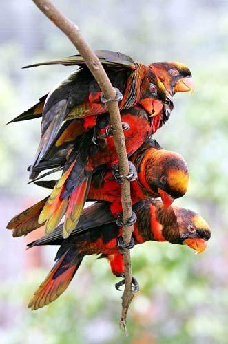 Dusky-Orange Lories, found in Indonesia & Papu...
