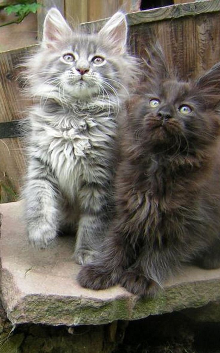 Beautiful cats with long fur,must be angora,or Nor...