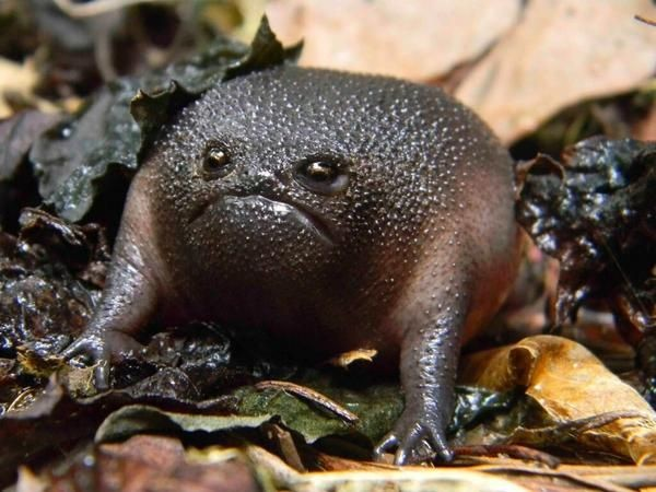 The Black Rain Frog (Breviceps fuscus) is a specie...