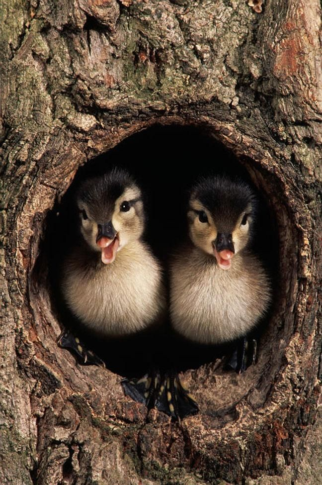 Wood ducks nest in tree hollows & specially-built...