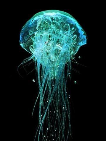 Neon Jellyfish, Aequorea victoria, contains Green...