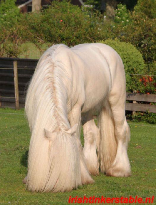 #horses ITS Amadeus-- Tinker/ Gypsy Vanner stallio...