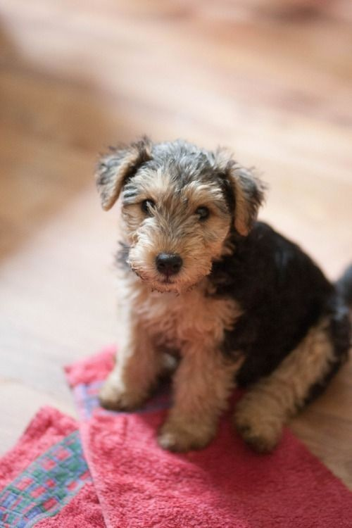 Terrier mixes are so darn cute want this little on...