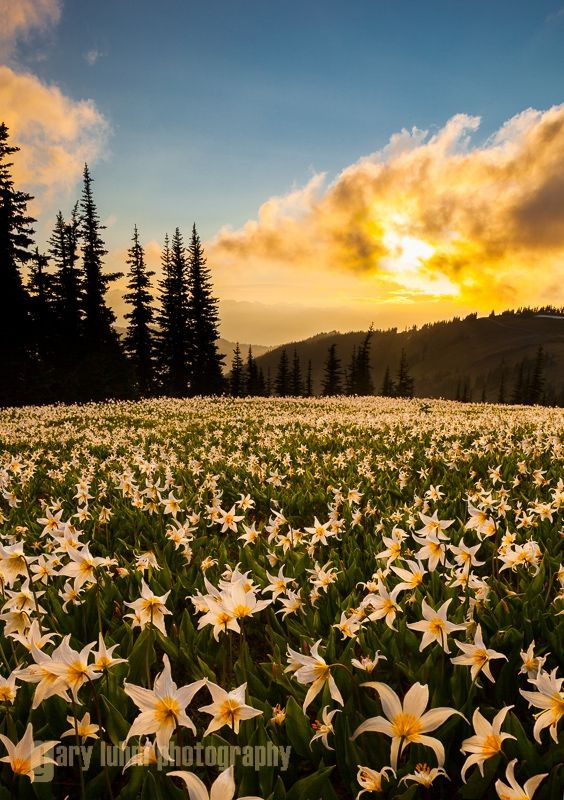 A field of Avalanche Lilies (Erythronium montanum)...