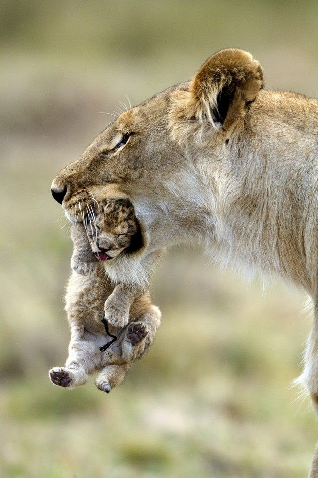 After a big fight, a young lion male scared the le...