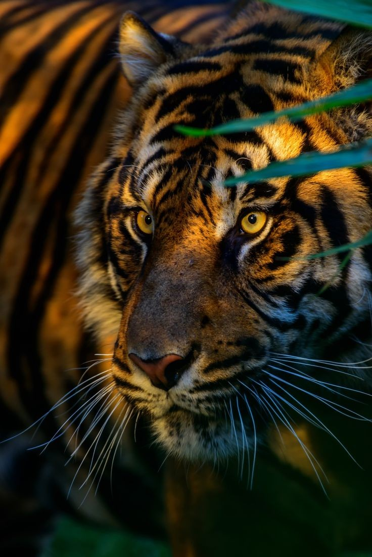 ~~Animal Park • Sunset Tiger • by Patr...