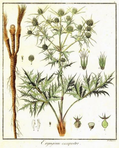 Cardo corredor, una planta medicinal para diabetes...