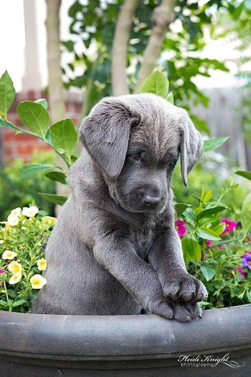 Charcoal Lab Puppy ♥