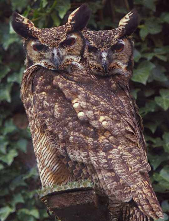 Turmanestan Eagle Owls. I think they are hugging t...