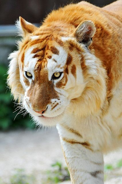 Its a Ginger Tiger ... Chloe would be so proud...