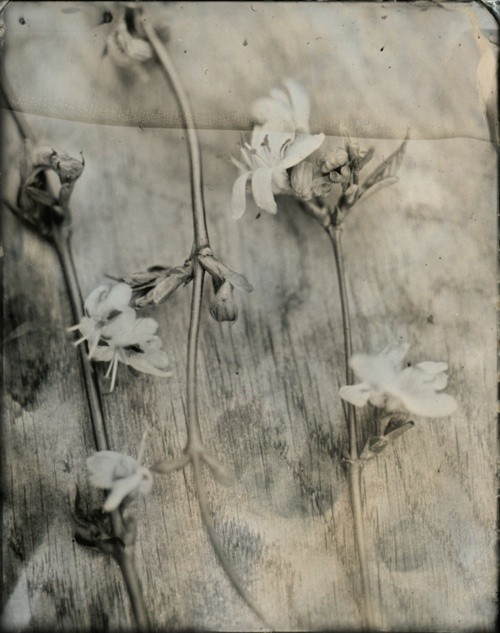 dried sepia flowers