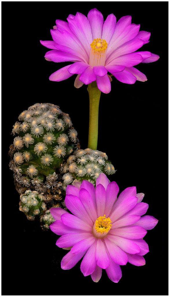 Mammillaria theresae - Flickr - Photo Sharing!