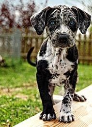All Abaut Louisiana Catahoula Leopard Dog. My drea...