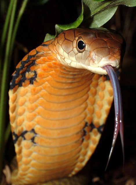 The king cobra (Ophiophagus hannah) is the world's...