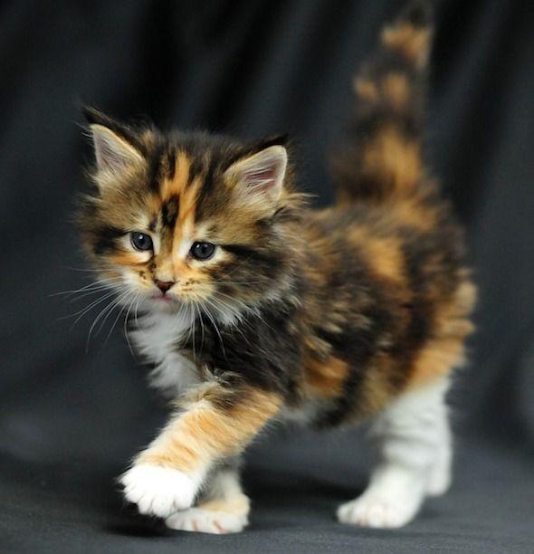 Omg.  ...I NEEEEEEEEEEEEED this kitty right meow!!...
