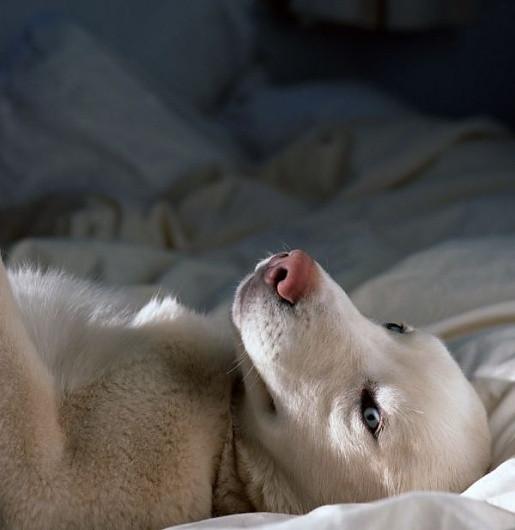 Husky, sleeping dog, let sleeping dogs lie, Jonath...