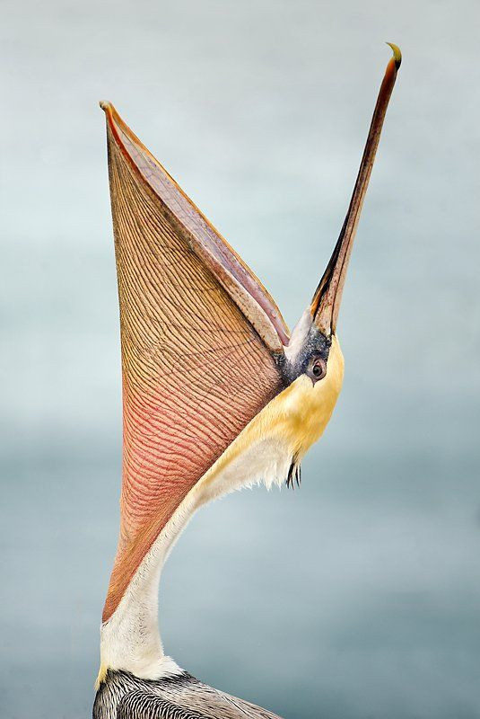 A peculiar bird is the pelican.   His beak will ho...