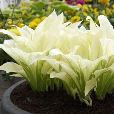 White Feather Hosta -- An amazing new development...