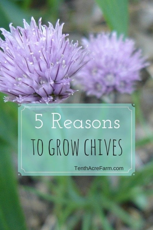 5 Reasons to Grow Chives | Tenth Acre Farm
