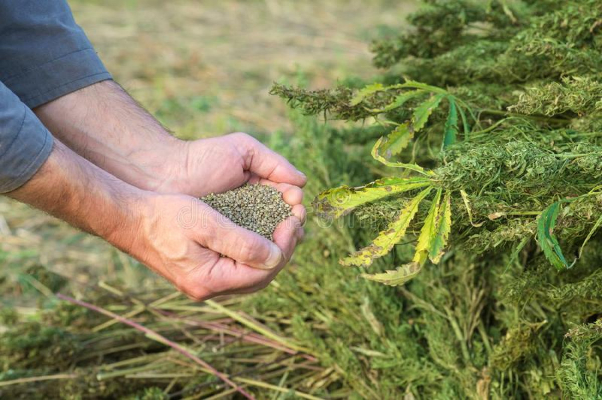 There is a huge demand for CBD or hemp products in...